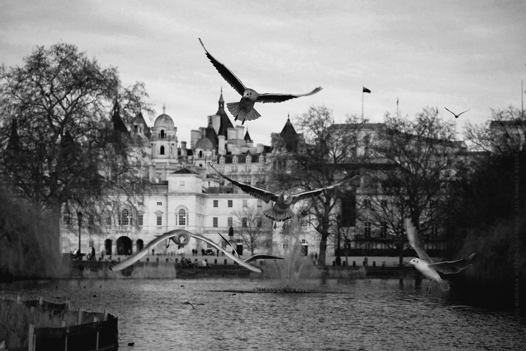 Gulls in St. James's park, Westminster with Horse Guards in background